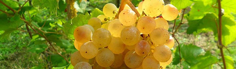 Albana Vino di Romagna tipologie
